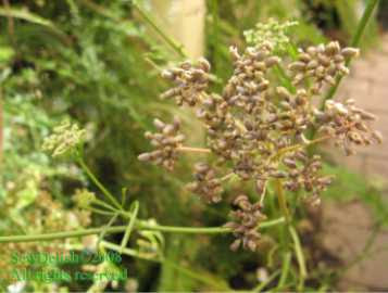 collect parsley seeds