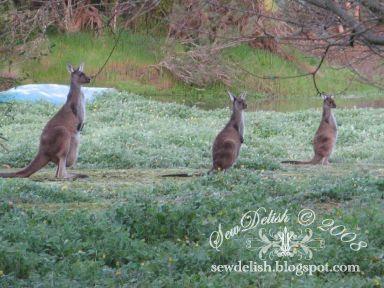 Australia Kangaroos Joey pouch