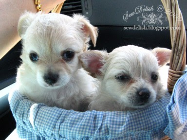 Chihuahua puppy chi puppies tinker bell