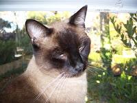 Picture of a Siamese Cat, Simon.