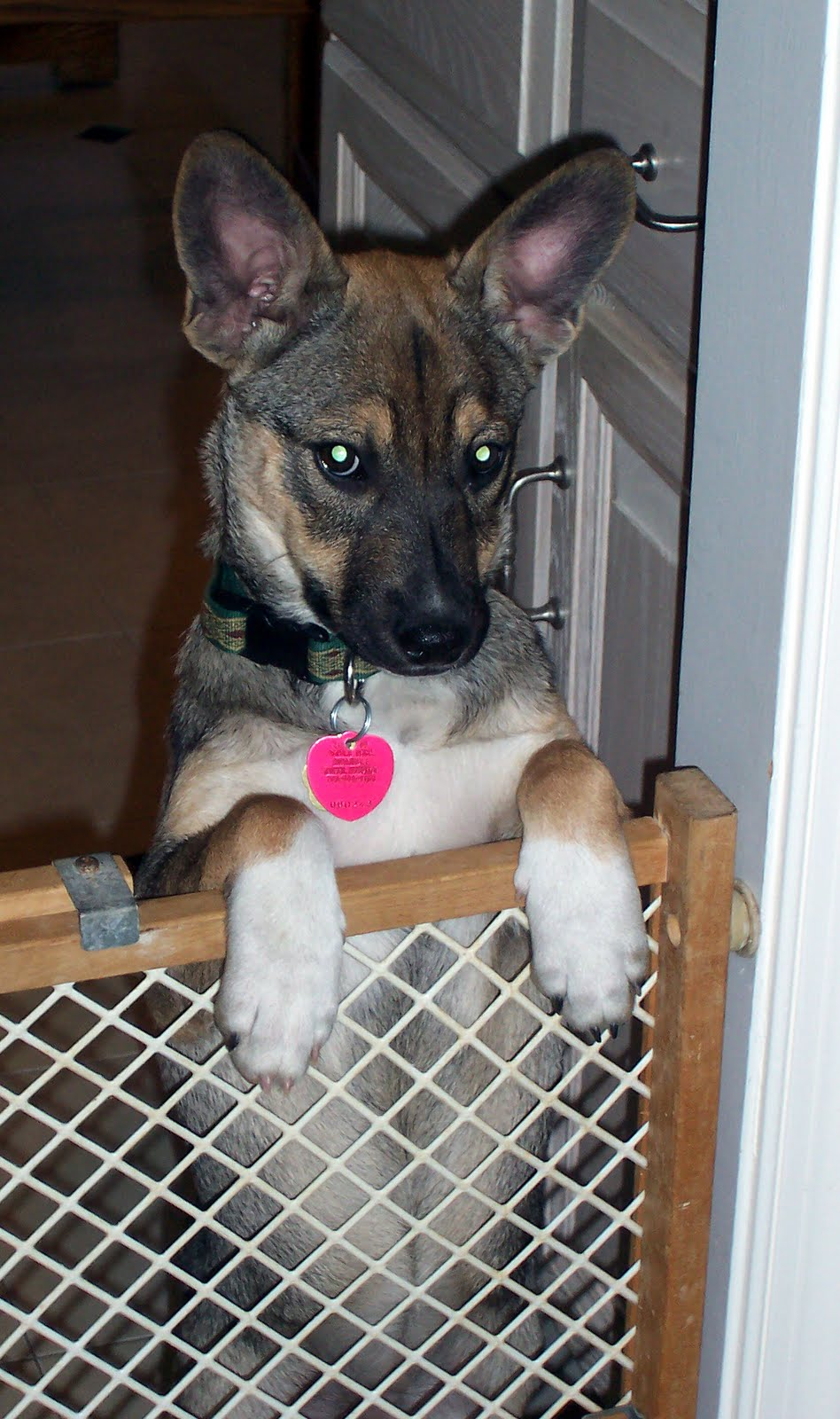 Norwegian Elkhound German Shepherd Mix You confirmed the elkhound,