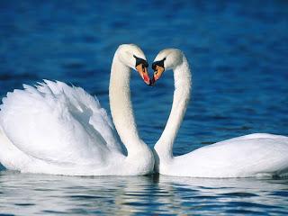 Dos cisnes enamorados