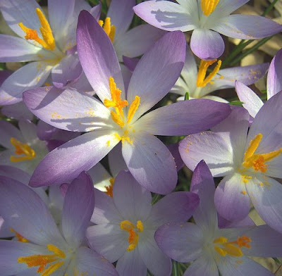 Sunlight on crocuses