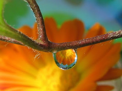 Marigold Waterdrop