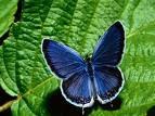 Koyu Mavi Kelebek