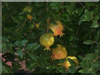 Nar (Punica granatum)