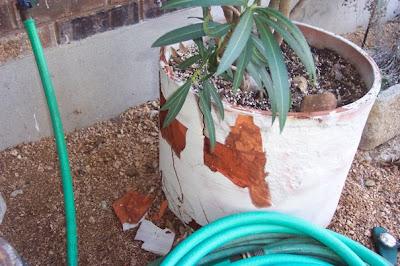 Divasofthedirt,oleander broken