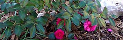 DivasoftheDirt, Camellia