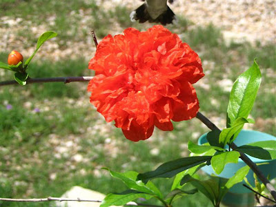 DivasoftheDirt, Mindy pomegranate