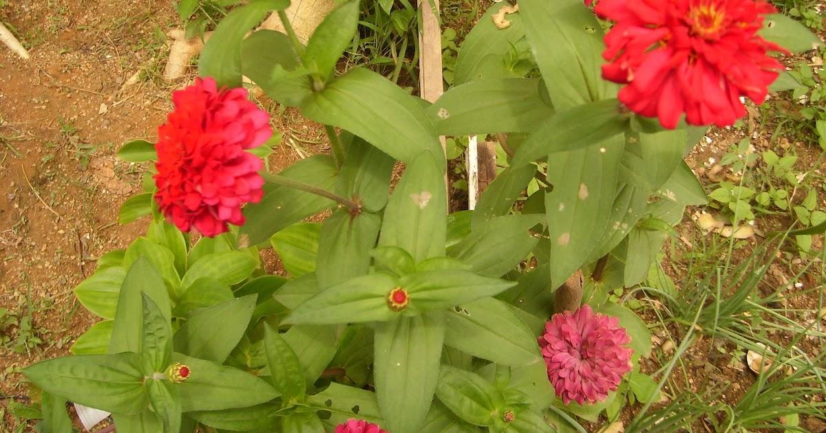 meu quintal meu jardim : meu quintal meu jardim:Borboletas nas flores do meu jardim: FLORES E PLANTAS DE MEU QUINTAL!