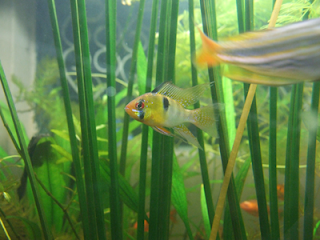 German Blue Ram cichlid picture