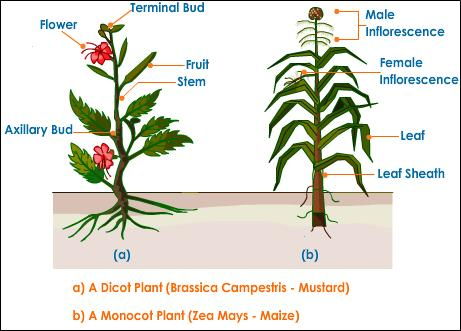 monocotyledonous and dicotyledonous plants Monocotyledonous - (of a flowering plant) having a single cotyledon in the seed as in grasses and lilies plant life , flora , plant - (botany) a living organism lacking the power of locomotion dicotyledonous - (of a flowering plant) having two cotyledons in the seed.