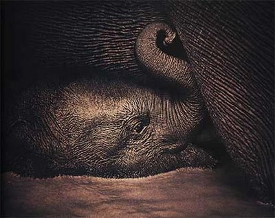 SWEETEST BABY ELEPHANT! ΦΩΤΟΓΡΑΦΟΣ: GREGORY COLBERT!