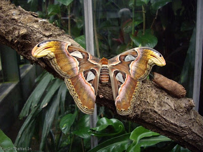 World's Largest Butterfly