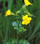 florais de bach mimulus