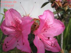 Azáleas de S. Miguel