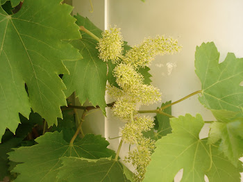 Mis primeras uvas