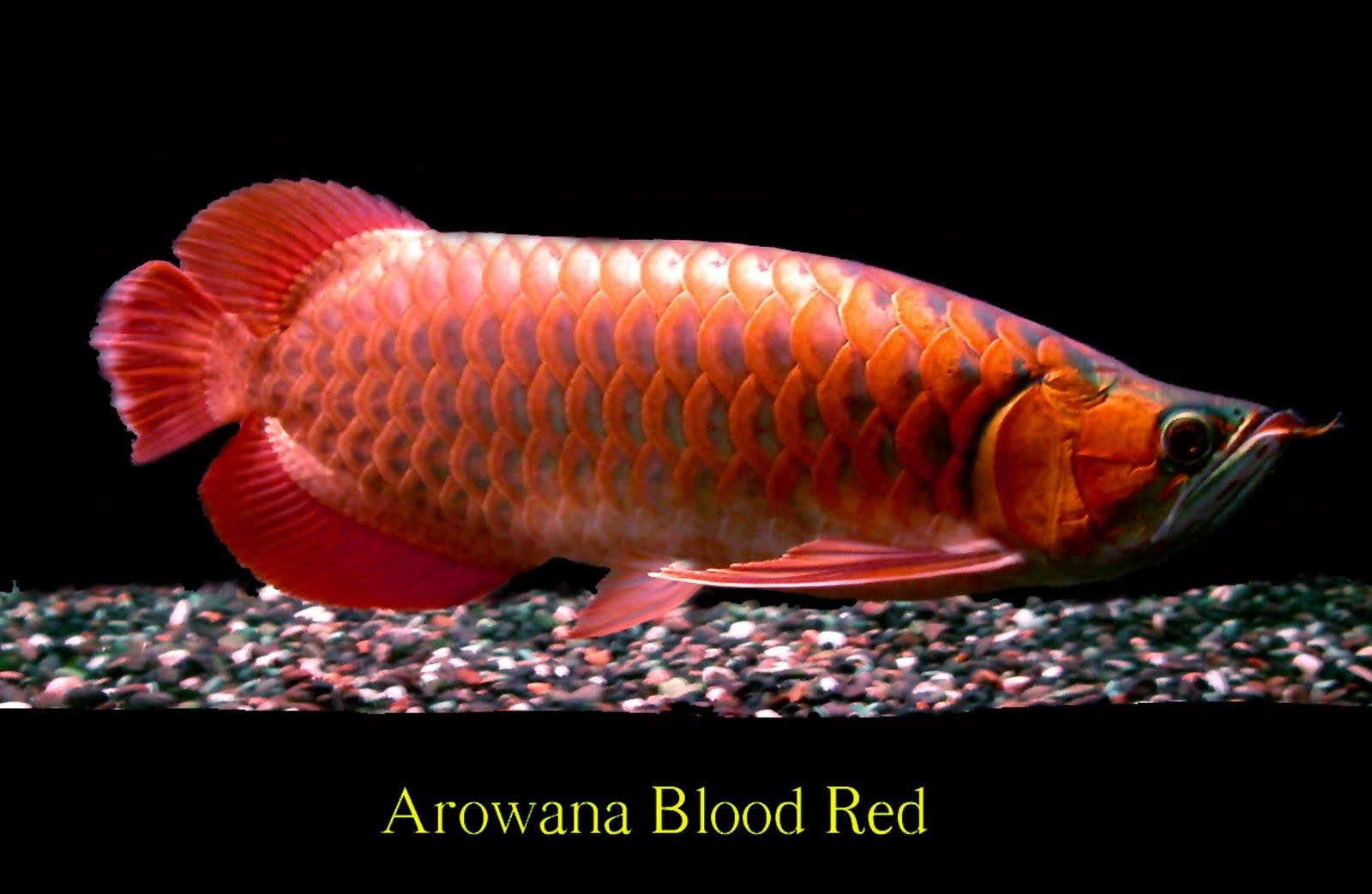 Arowana aquaculture
