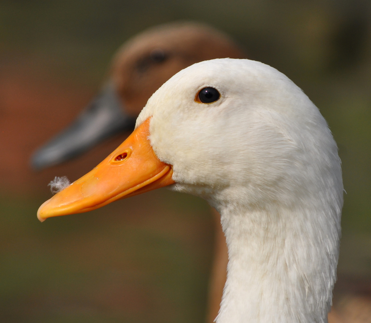 duck muslim Yes we can eat duck, but we can't eat pig any animals that come from the sea that's are not fish like oysters, squid and crayfish we also cant eat.
