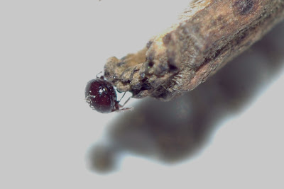 Image Result For Ear Mites In
