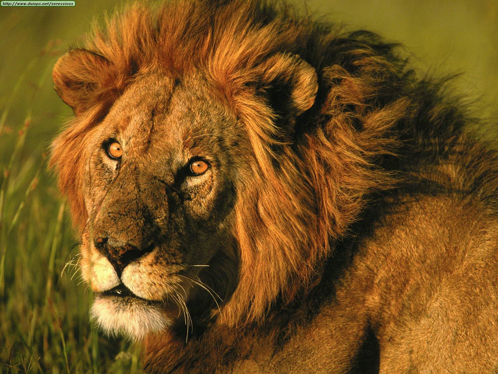 10- A pesar de reproducirse con facilidad, el león se encuentra en la ...