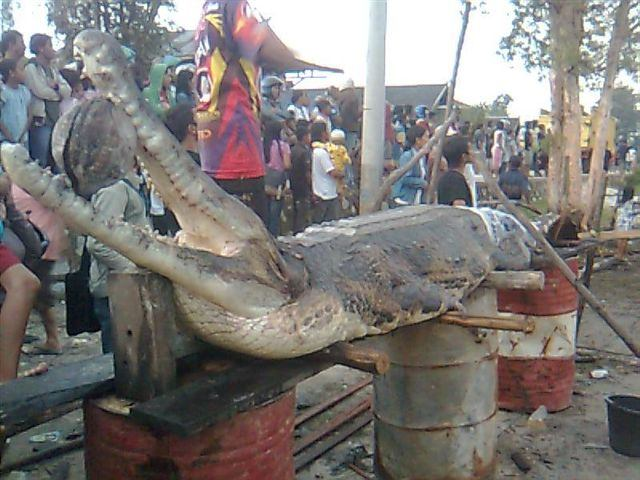Questões e Fatos sobre Crocodilianos gigantes: Transferência de debate da comunidade Conflitos Selvagens.  - Página 2 False+gharial+2