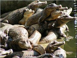 凱門眼鏡鱷