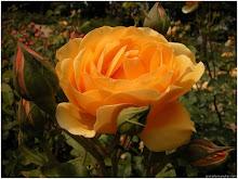 La flor de la Felicicdad