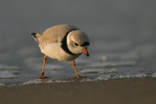 Image of a piping plover on a beach