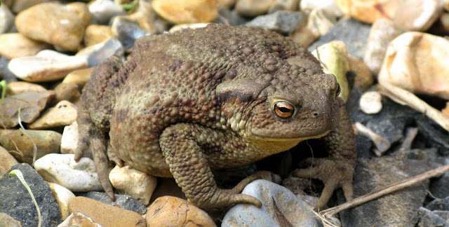 A toad on the gravel.