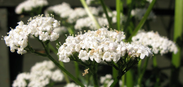 Delightfully-scented white valerian flowers.