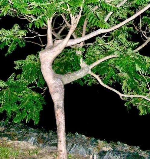 Pohon Yang Menyerupai Seorang Manusia