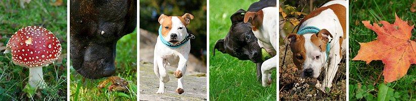 .: Bellerion Staffordshire Bull Terrier :.