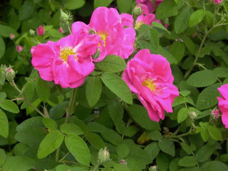 cultivo rosas jardim:de corte de flores agrupadas miniaturas de flores grandes etc