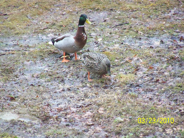 Mallard ducks in our backyard!