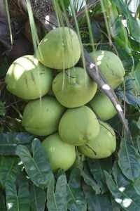 yang orang tahu tentang air kelapa muda adalah bahwa air kelapa muda ...
