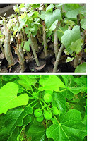 biofuel | tuba-tuba plant