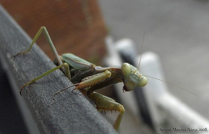 [Mantis+acechante.jpg]