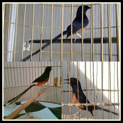 Aneka Suara Burung Murai Batu Medan Terbaik