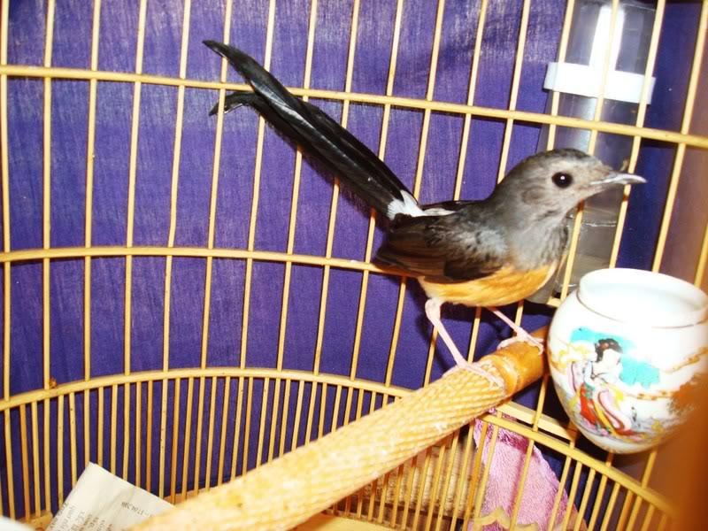 burung murai batu betina