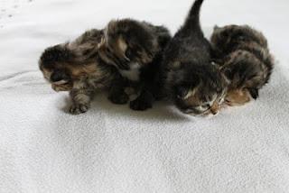 Siberian Cat, Siberian Kitten