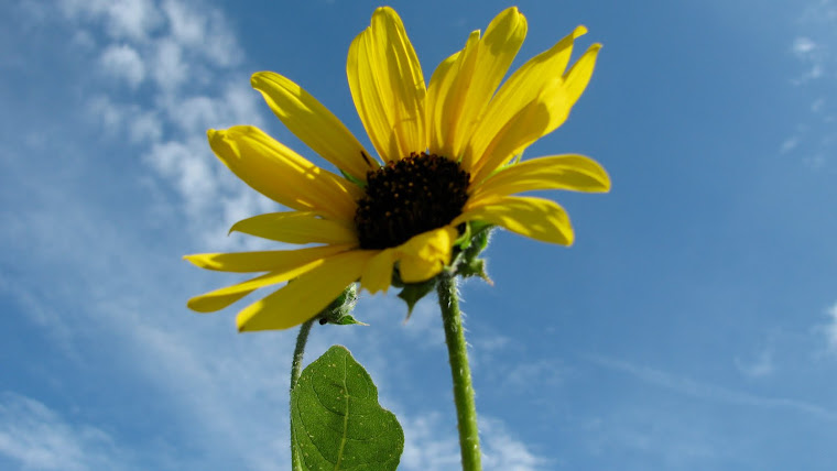 Sky and Sunflower