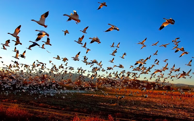 Fright Flight of the Snow Geese, by Fort Photo