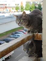 Кошки серые, две штуки