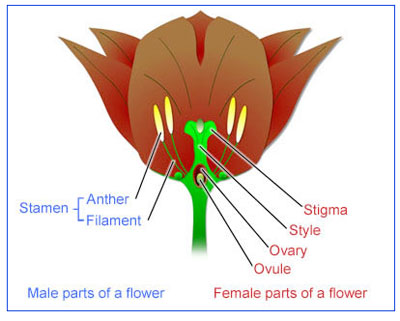 Reproduction_Flowering_Plants_Virt.jpg (400×321)