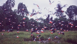 Flock of African Grey Parrots