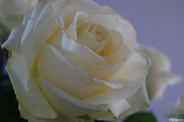 roser hvide blade