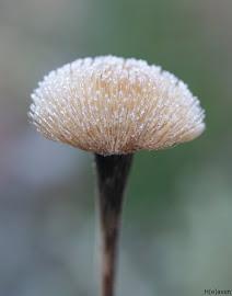 Stor tusindstråle i frost