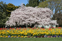 Spring time in Christchurch gardens - Cherry tree and tulips