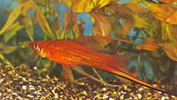 swordtail fish male